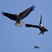 2 eagles flying fish