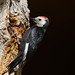 White-headed Woodpecker by Best Practices