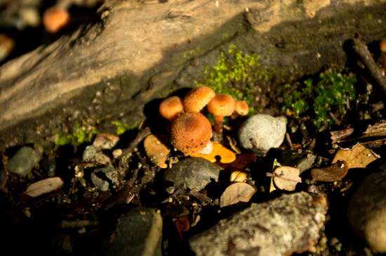 Little Orange Mushrooms - Henry Creek near Lake Te Anau 22 7 15 K55779