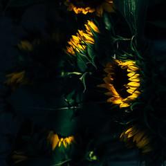 2637 Sunflowers