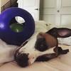She's finally jolly about her Jollyball! #puppiesofinstagram #muttsofinstagram #hound #birddog #mutt #fannypup