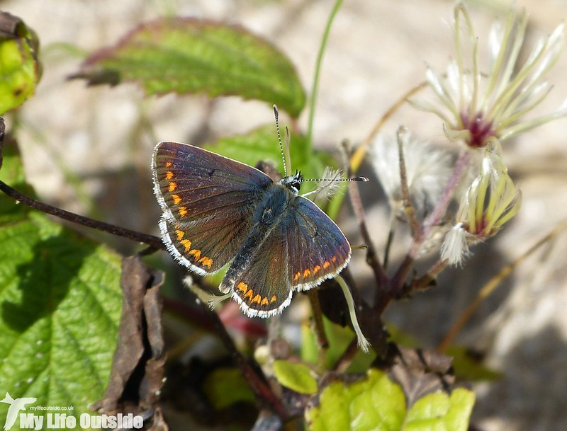 P1150467 - Common Blue, Broad Haven