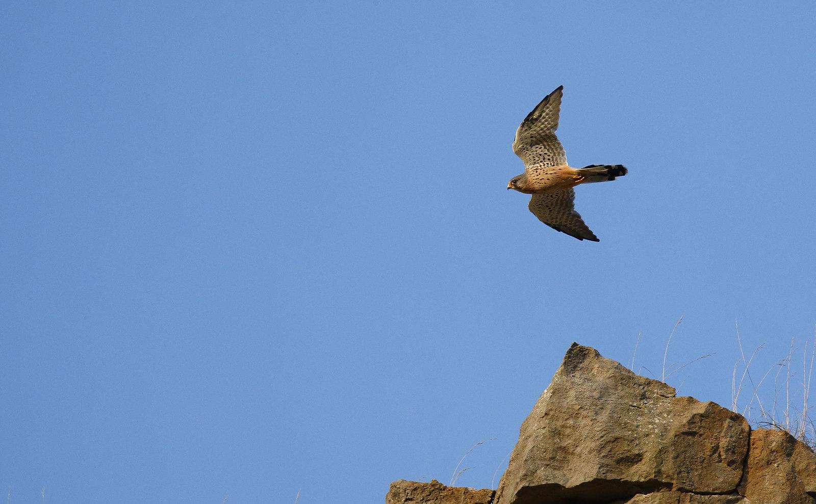 Kestrel riding the cliff edge