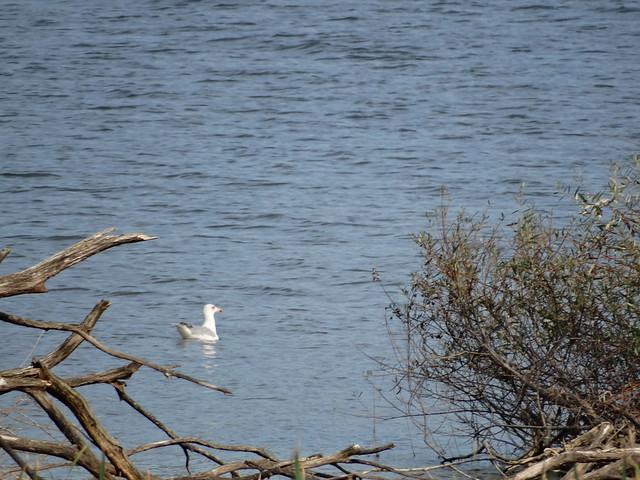 Gaviota en la Ruta Ornitológica del Bosque Animado