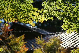 Maple Leaves in Fushoushan Farm │ October 3, 2015