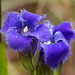 Gentianopsis crinita (Fringed Gentian) [Explore 2015-10-07] by jimf_29605