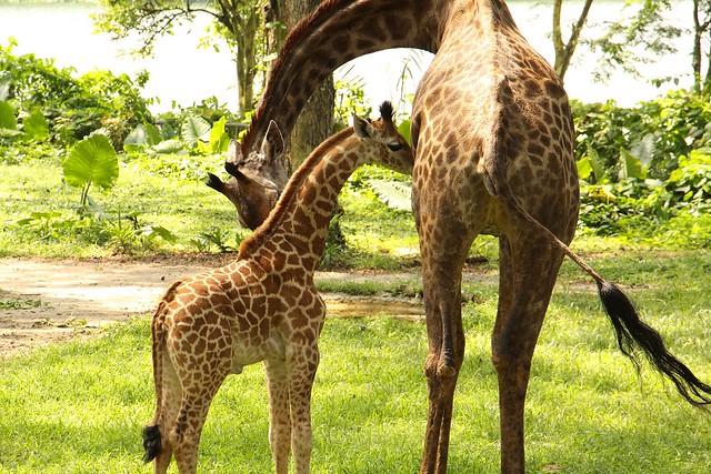 SZ Image 2_Giraffe calf_WRS