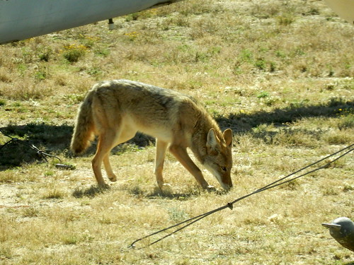 Pima Air-Space museum - Boneyard - coyote - 1