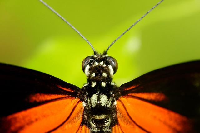 Butterfly - Danaus plexippus (Macro)