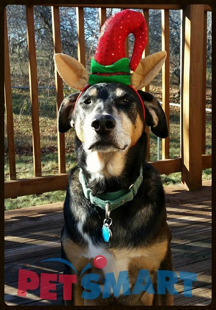 Teutul Is Holiday Ready after his #PetSmart Grooming - Lapdog Creations #ad