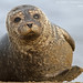 Common/Harbour Seal (Phoca vitulina) by gcampbellphoto