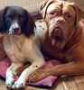 My Springer & my Dogue