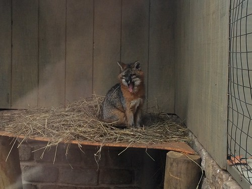 Gray Fox, Turtle Back Zoo #NJ