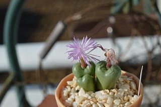 DSC_2136 Conophytum ficiforme Worcester f.Pink  コノフィツム フィキフォルメ ピンク花