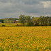 Fields of Gold by thoeflich