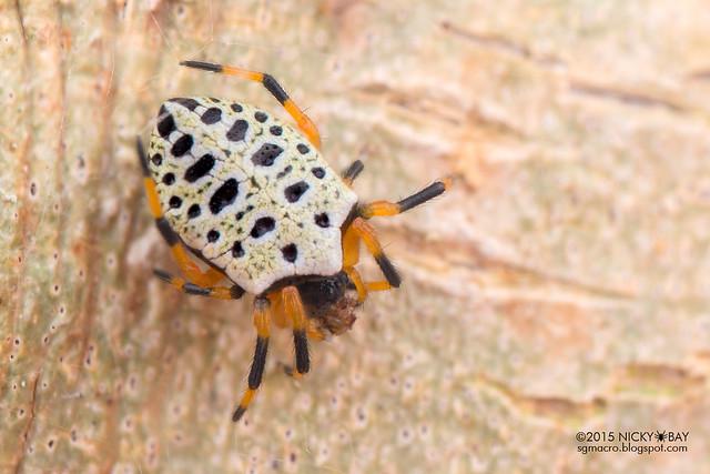 Orb weaver spider (Alpaida tabula) - DSC_1077