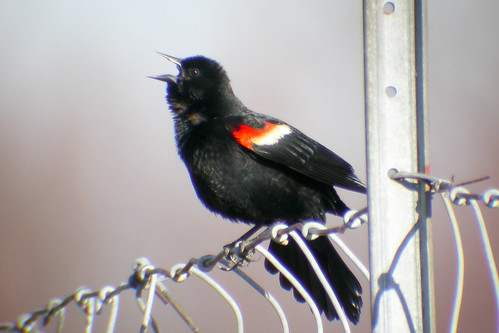 bird wildlife birding ornithology birdwatching oiseau redwingedblackbird faune ornithologie carougeàépaulettes