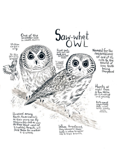 Owls_03_Saw-Whet