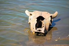 Bos taurus DT [BR Pantanal] (3)