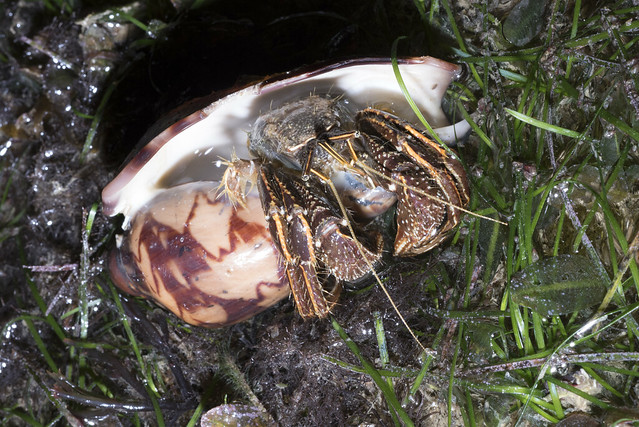 Orange-striped hermit crab (Clibanarius infraspinatus)