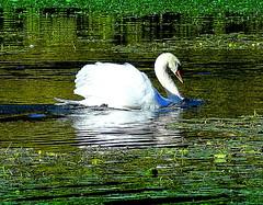 Lake Attraction: Beautiful Swan
