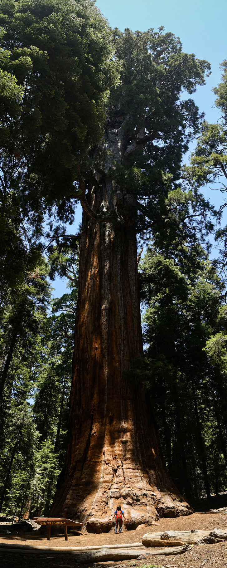 The President Tree (15 Amazing Things to Do in Sequoia National Park).