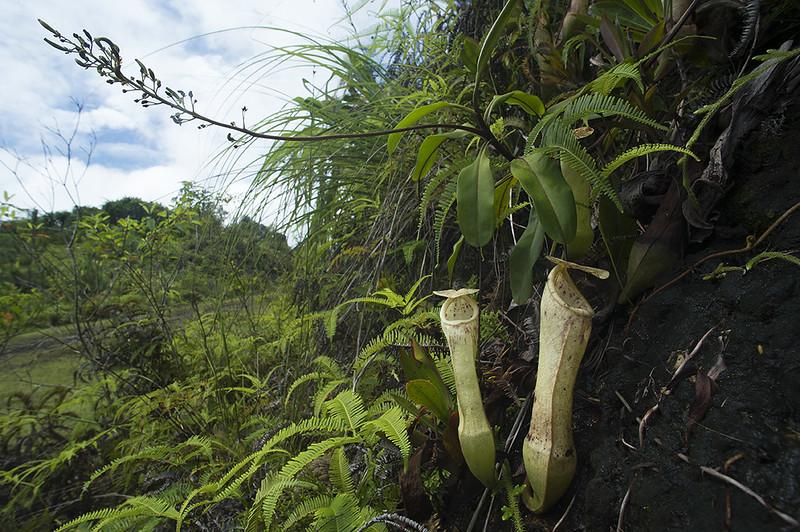 Carnivores et orchidées in situ  22695058678_0f3c726de8_c