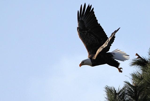 Wildlife_Lake Coeur d' Alene Eagle Watch