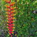Heliconia by jcc55883