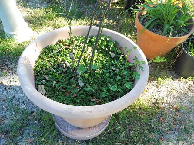 P1030196 burr plant in rose pot