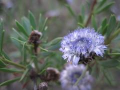 Bleu fleur