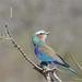 Lilac-breasted Roller. by LC's Eye (Wild Images of Africa)