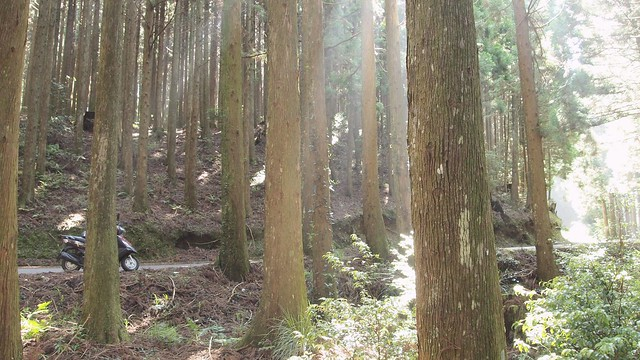 高海拔杉林
