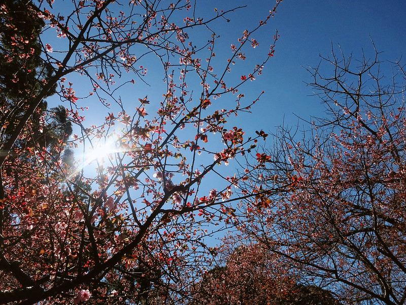 Cherry Blossoms Festival - Auburn 2015