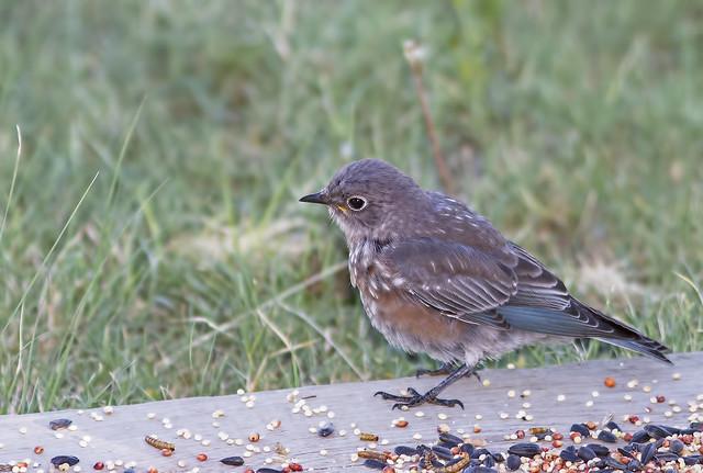 Western Blue Bird 7d1_2393