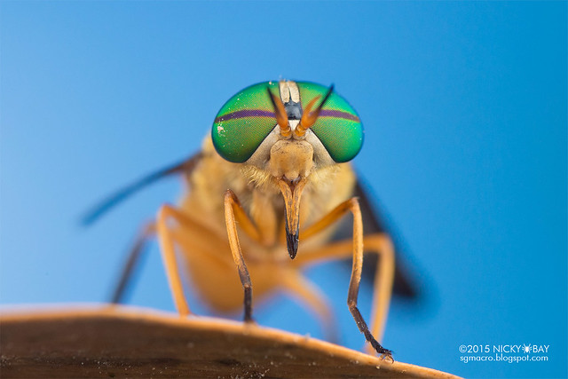 Horse fly (Tabanidae) - DSC_7962