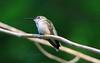 Ruby-throated Hummingbird by RickykcWong