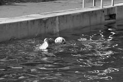 1 km swim every day.