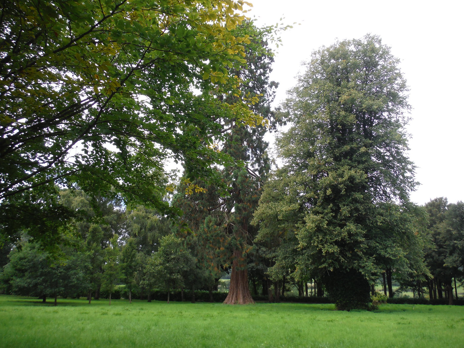 Mature Trees in Wardour Park SWC Walk 251 Tisbury Circular via Ludwell and Berwick St. John