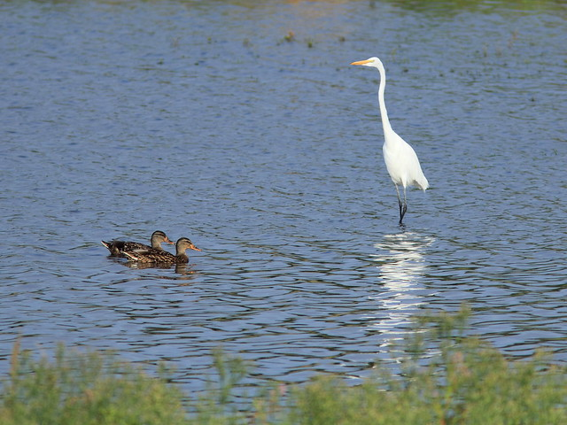 Great Egret with Mallards 20150918