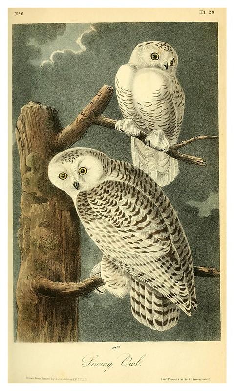 003- Buho de las nieves- Vol1-1840-The birds of America…J.J. Audubon