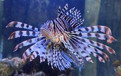Lionfish 6503_DxO