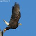 American Bald Eagle Male Liftoff - Lake Martin, Louisiana