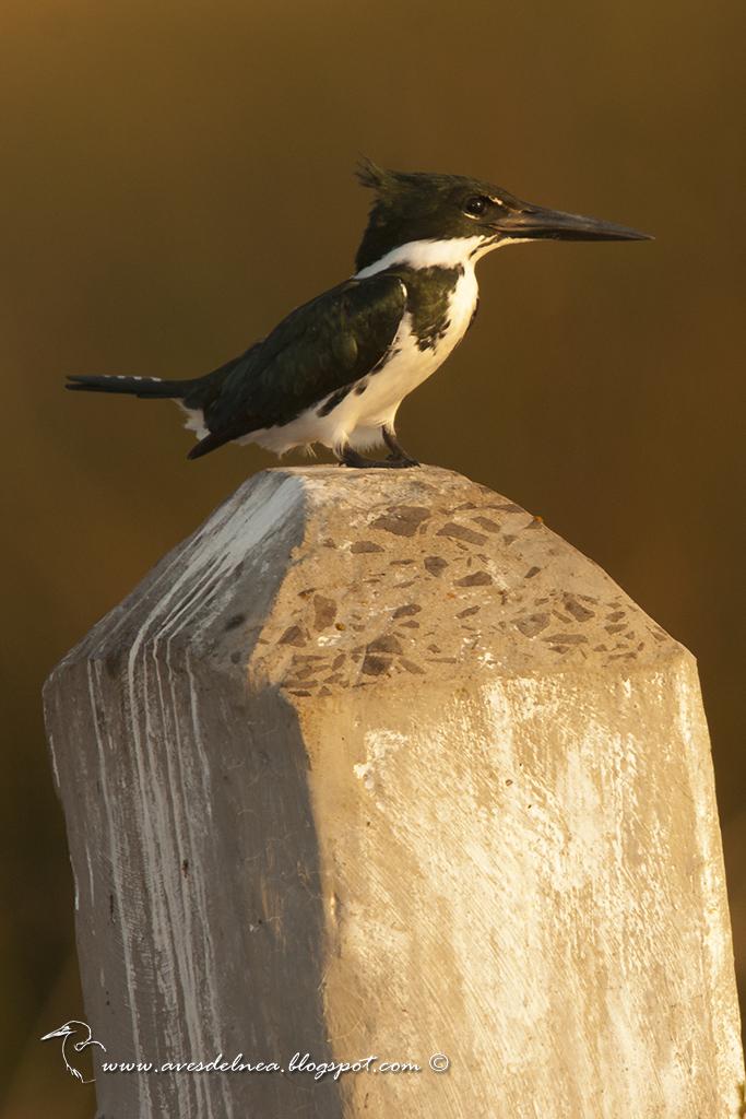 Martín pescador mediano (Amazon kingfisher) Chloroceryle amazona