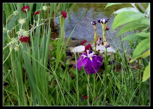 Iris ensata et Knautia