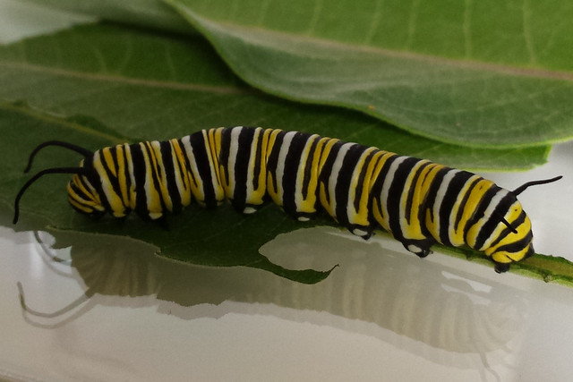 the last caterpillar, one day before pupation