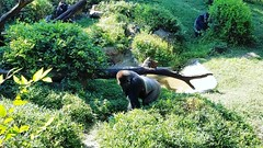 #Gorillas @dallaszoo #zoo
