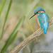 Kingfisher by ian hufton photography