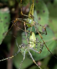 A loving embrace - Peucetia viridans (green lynx spider)