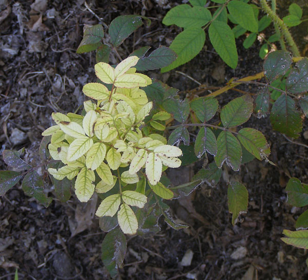 Dấu hiệu cây hoa hồng bị vàng lá do thiếu sắt: thường xảy ra ở phần ngọn cây hoa hồng